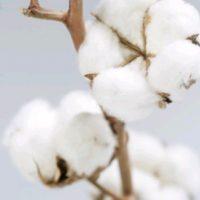 Le coton organique, un enjeu écologique pour la mode
