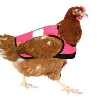 Des poules en sécurité!