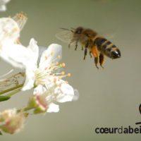 Des services de pollinisation assurés par des abeilles sauvages