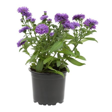 Plant d'aster