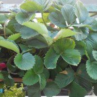 Multiplier les fraisiers par marcottage