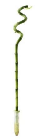 dracaena lucky bambou ikéa