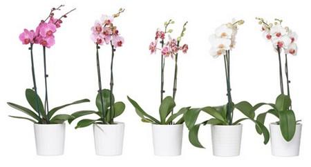 phalaenopsis orchidée Ikéa