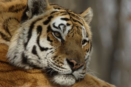 Amur Tiger (© Valery Maleev)