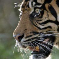 La population de tigres sauvages augmente !