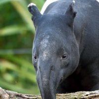 Un tapir malais emménage au Jardin des Plantes de Paris