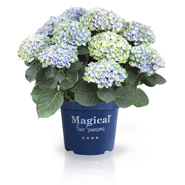 Hortensia Magical 4 Seasons