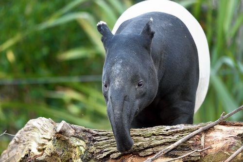 PHOTO Tapir malais © F-G Grandin MNHN