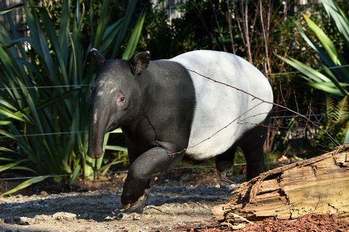PHOTO Tapir malais 2© F-G Grandin MNHN