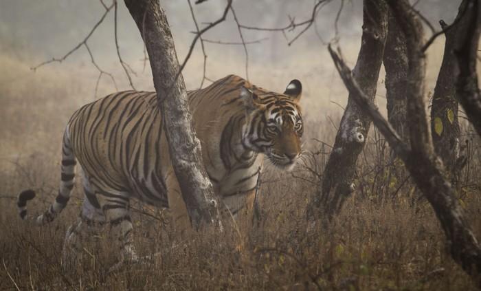 La population de tigres sauvages augmente