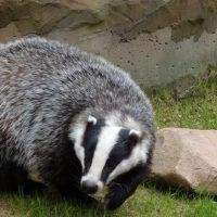 L'ASPAS alerte sur la cruelle chasse aux blaireaux