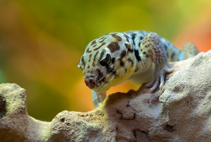 gecko superstitions insolites