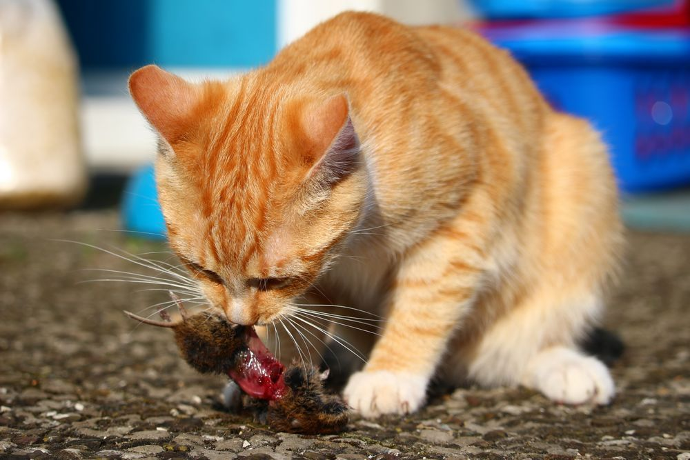chat chasse souris